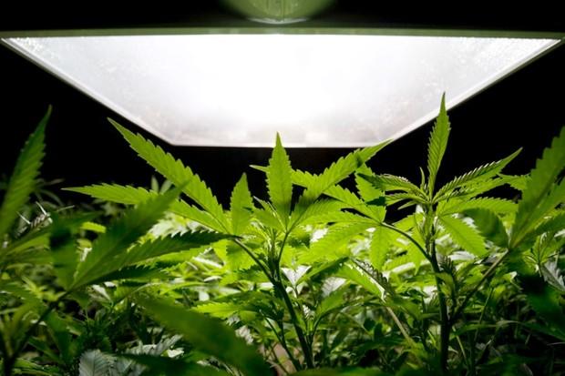 Medical Marijuana © Getty Images