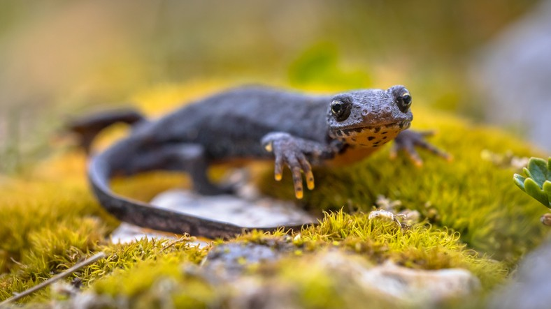 Alpine newt (Ichthyosaura alpestris) sideview on moss and rocks in natural mountain environment