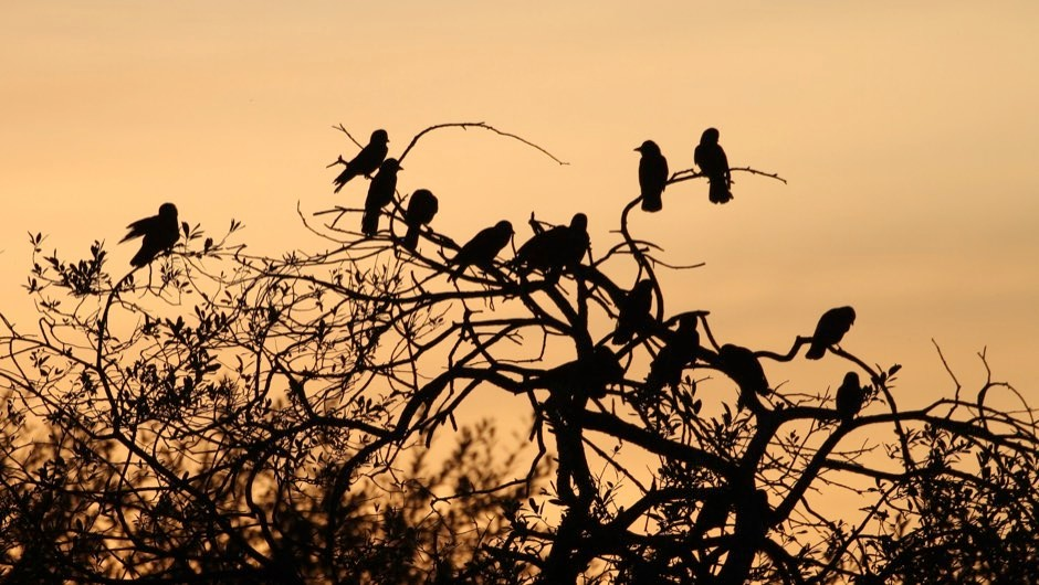 Jackdaws count their friends when deciding to join a mob