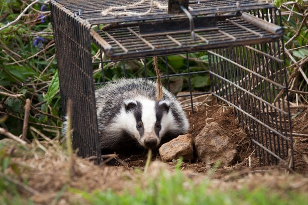 Cull drives badgers roam further afield © Seth Jackson/PA