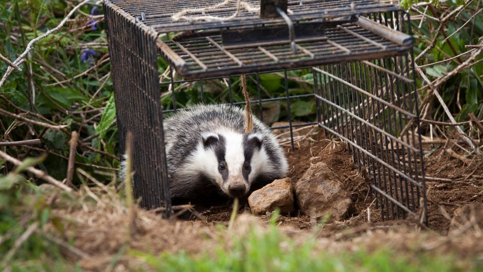 Cull drives badgers roam further afield