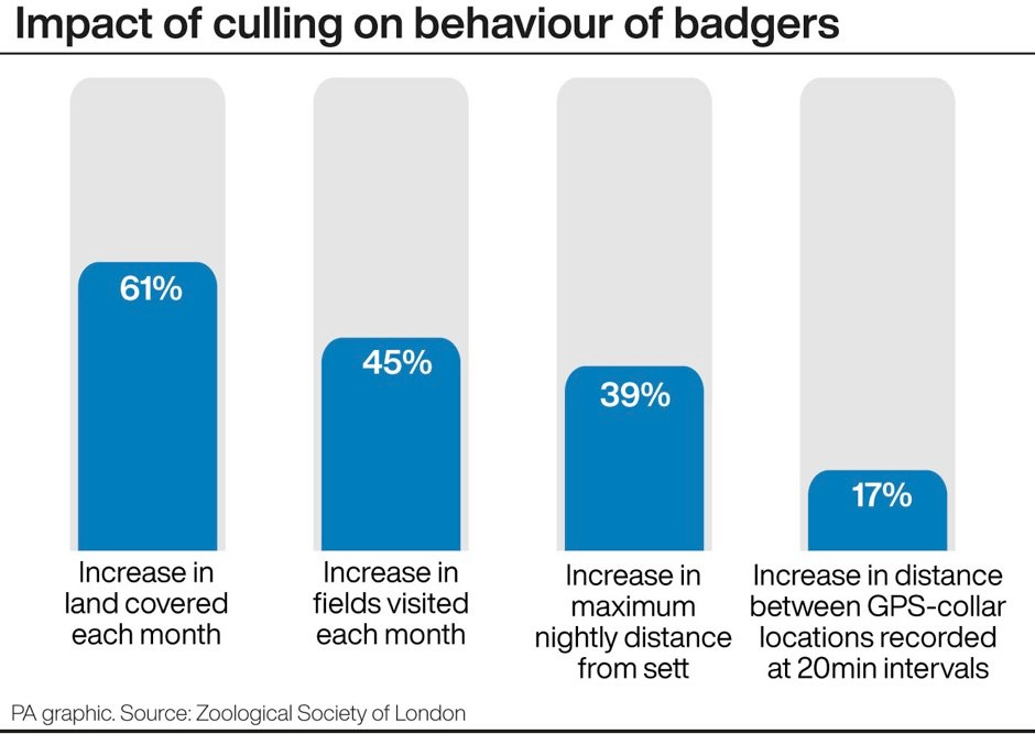Impact of culling on behaviour of badgers. See story FARM Badgers. Editable versions of this graphic are available via PA Graphics or your account manager. Infographic by PA Graphics