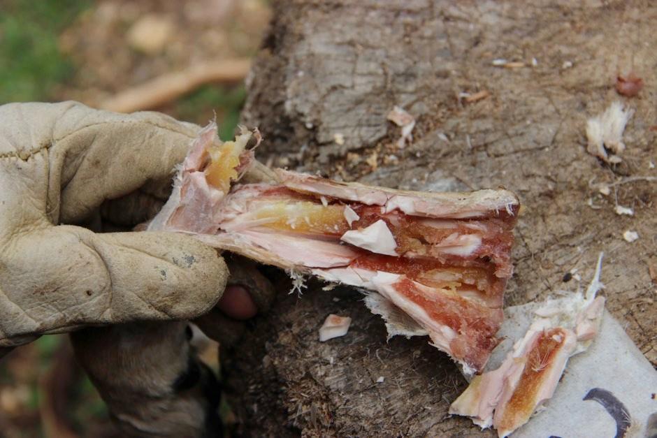 Marrow inside a metapodial bone after six weeks of storage © Dr Ruth Blasco/AFTAU