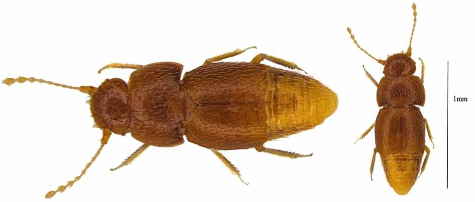 Nelloptodes gretae - beetle named after Greta Thunberg ©The Trustees of the Natural History Museum