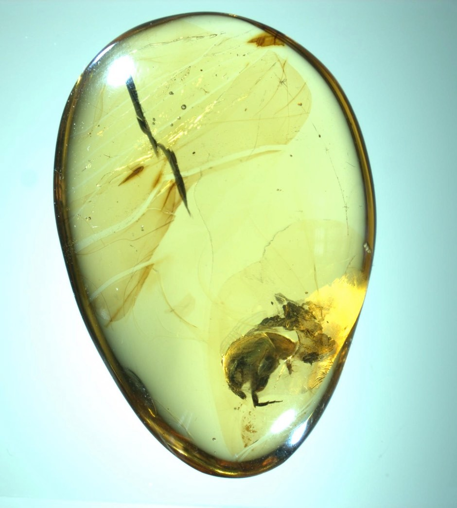 A. burmitina was found trapped in amber, along with pollen grains © Nanjing Institute of Geology and Palaeontology