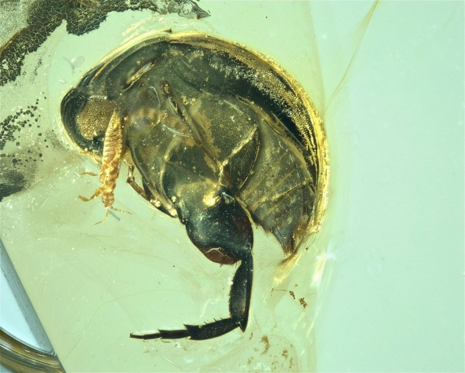 The beetle was identified as a pollinator by its mouthparts and body shape © Nanjing Institute of Geology and Palaeontology