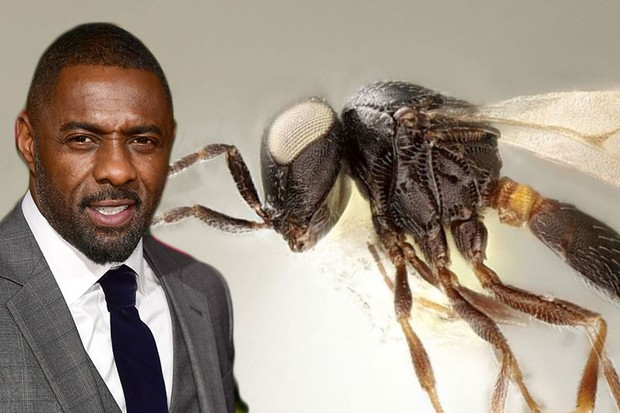 Idris Elba 'honoured' to have new species of broccoli parasite named after him (A female wasp of the newly described species Idris elba (Elijah Talamas/PA), Idris Elba (Ian West/PA))