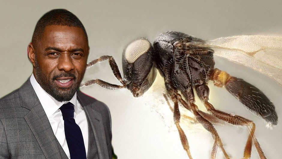 Idris Elba 'honoured' to have new species of broccoli parasite named after him