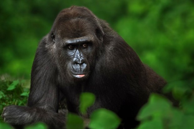 Great apes probably smarter than early human Australopithecus species © Getty Images