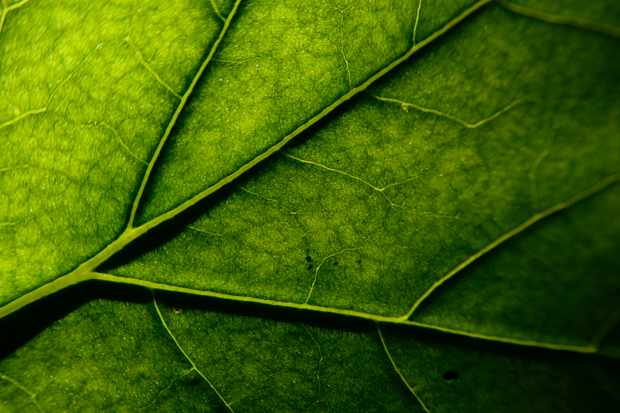 Why have trees evolved such a variety of leaf shapes? © Getty Images