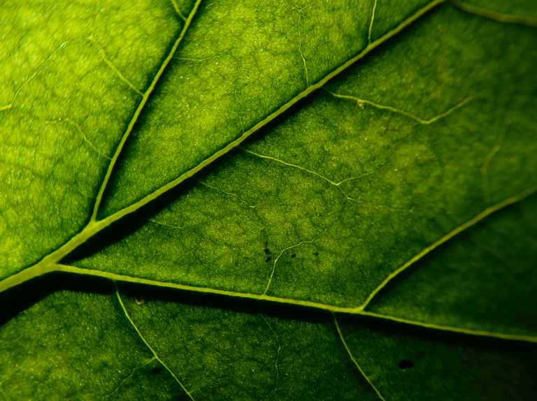 Why have trees evolved such a variety of leaf shapes?