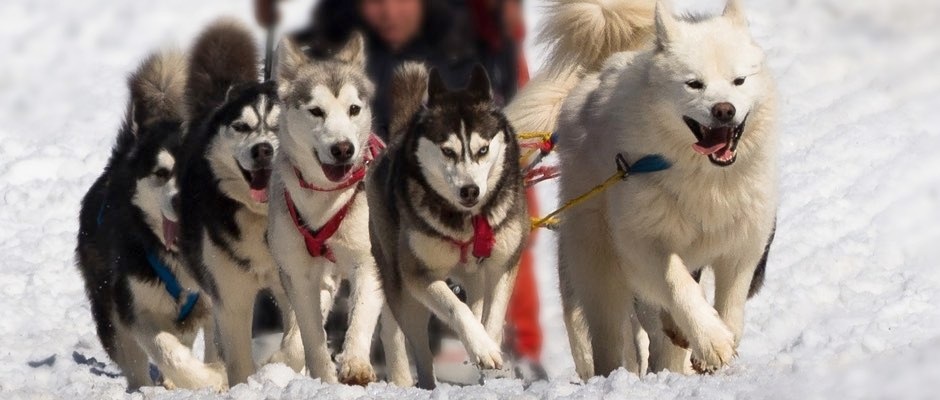 'Genetic legacy' of Inuit sledge dogs revealed