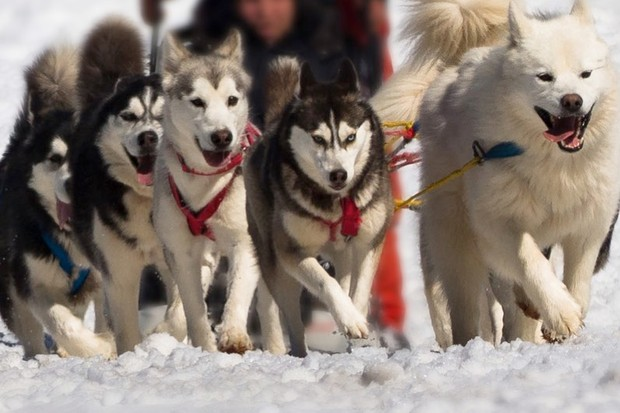 'Genetic legacy' of Inuit sledge dogs revealed © Getty Images