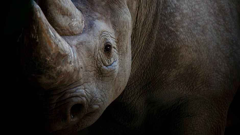 Scientists fake rhino horn from horse hair to flood illegal market © Getty Images