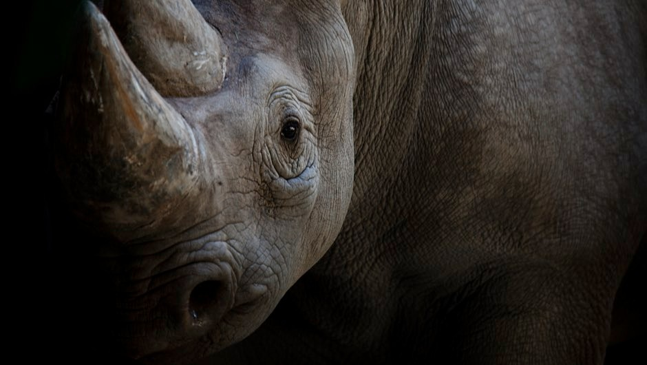 Scientists fake rhino horn from horse hair to flood illegal market