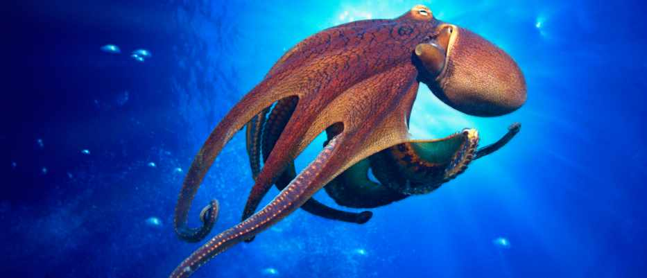 How do octopuses move their limbs if they have no bones? © Getty Images