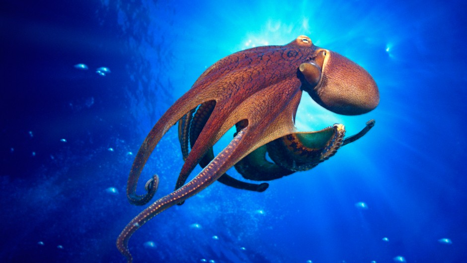 How do octopuses move their limbs if they have no bones?