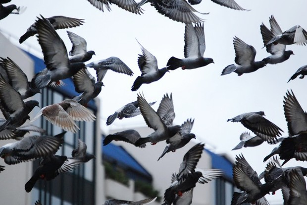 Pigeons in a flock follow their most influential friends © Getty Images