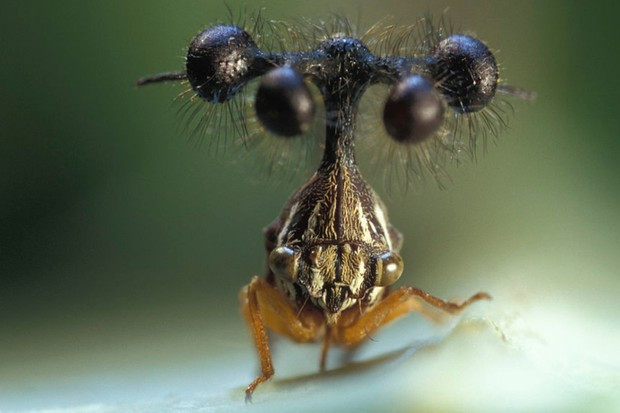 What is a Brazilian treehopper? © Getty Images