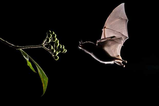 Why are there so many species of bat? © Getty Images