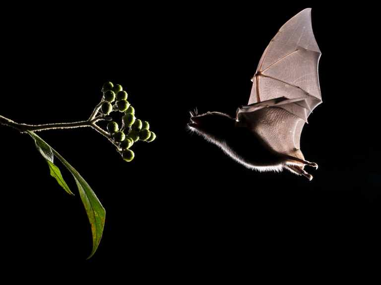 Why are there so many species of bat?