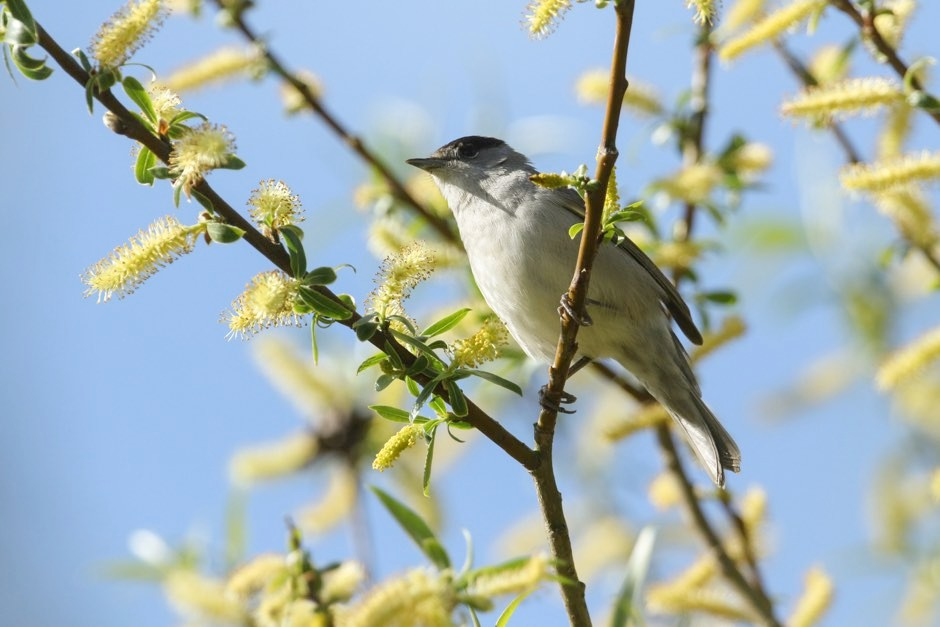 Blackcaps have started to evolve beaks longer, narrower beaks thanks to our birdfeeding habit © Getty Images
