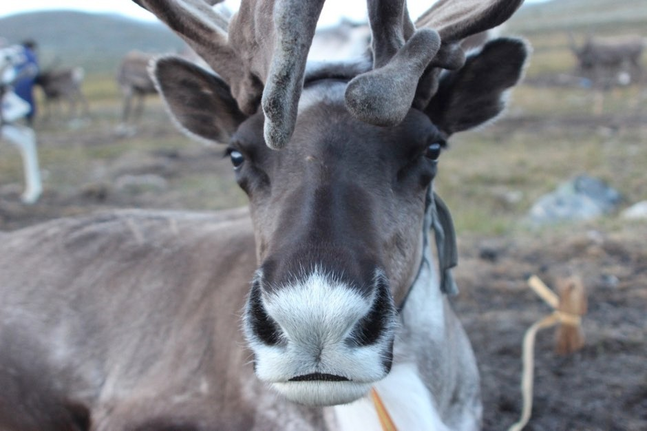 Mongolia's domestic reindeer are increasingly threatened by warming temperatures, which are melting essential snow and ice patches (Julia Clark/Flinders University/PA)