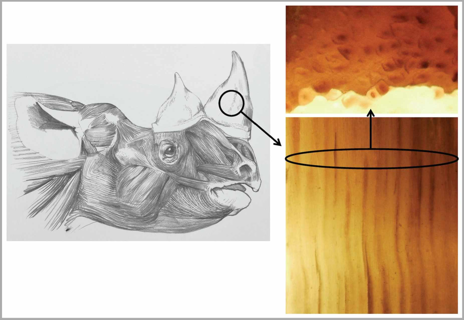 Head of rhino drawn to life by Jonathan Kingdon showing to the right both length and cross sections of slivers of its horn © Jonathan Kingdon/PA