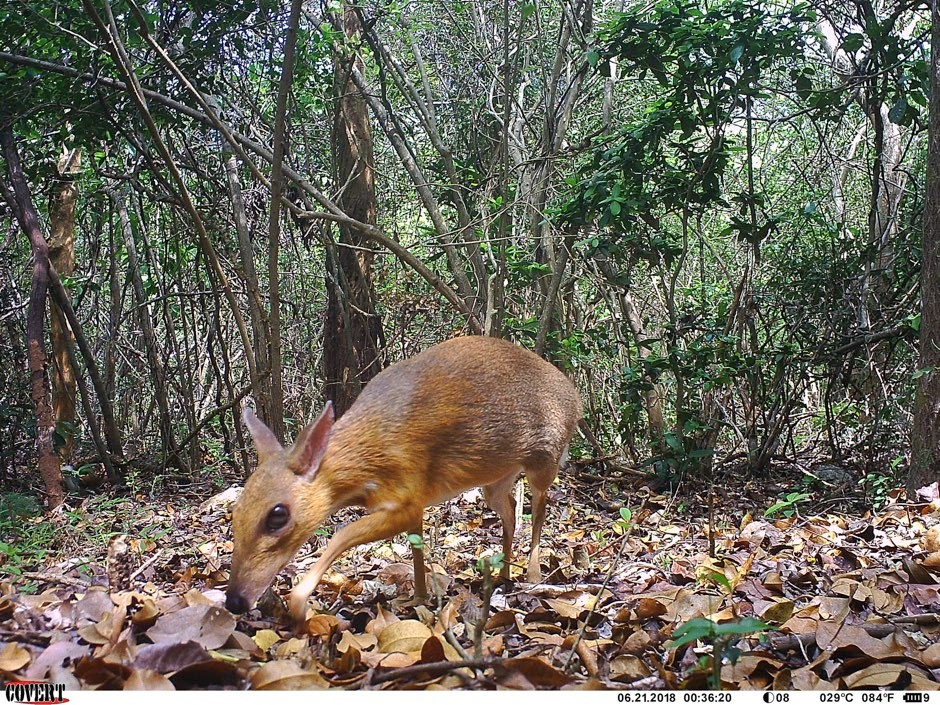 The Vietnam mouse-deer is the smallest species of ungulate © SIE/GWC/Leibniz-IZW /NCNP/PA