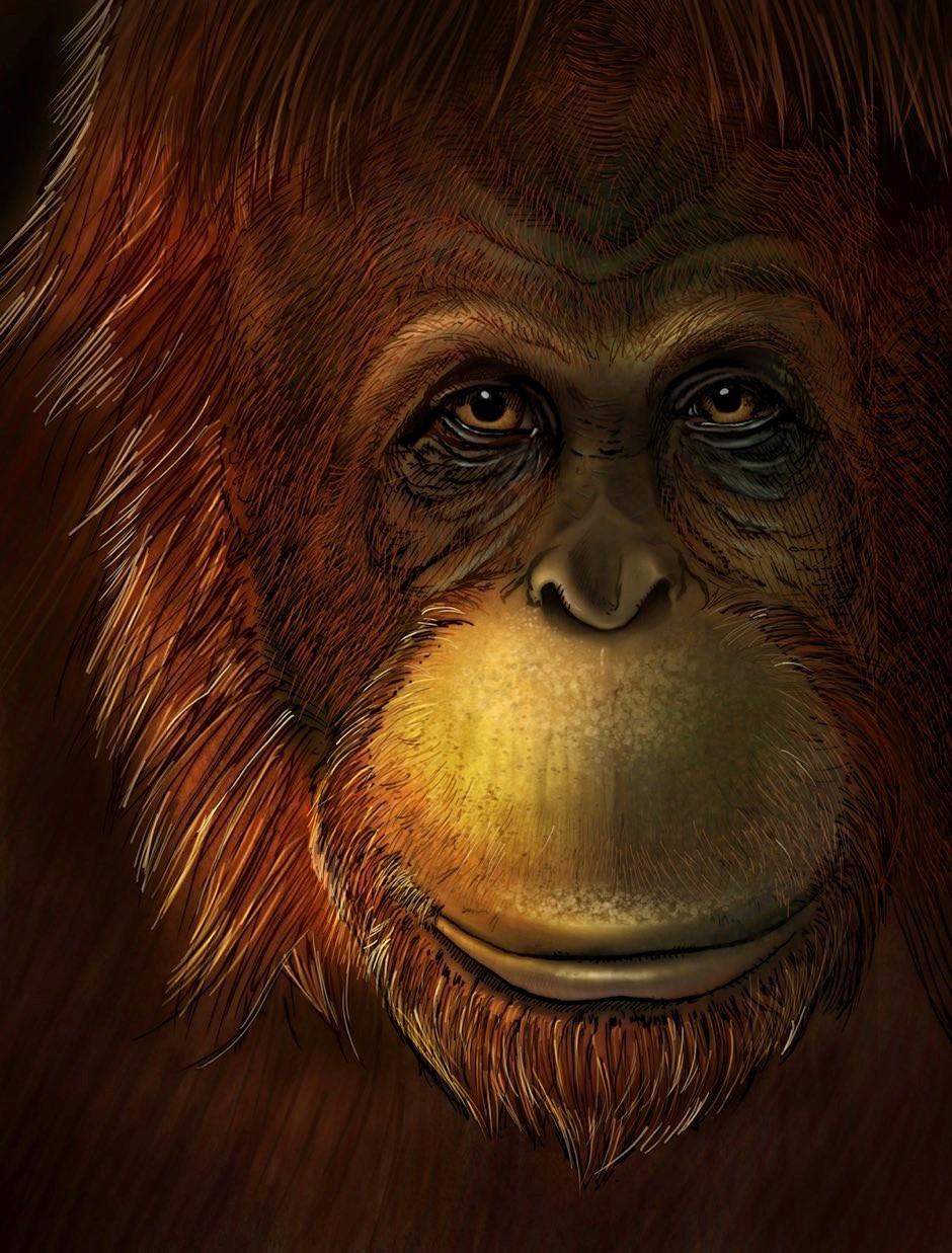 Artist reconstruction of Gigantopithecus blacki © Ikumi Kayama/Studio Kayama LLC