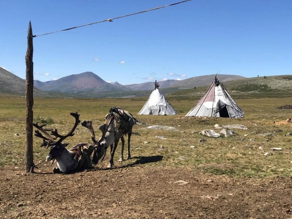 Domestic reindeer saddled for riding outside a Tsaatan summer camp in Khuvsgul province (Julia Clark/Flinders University)