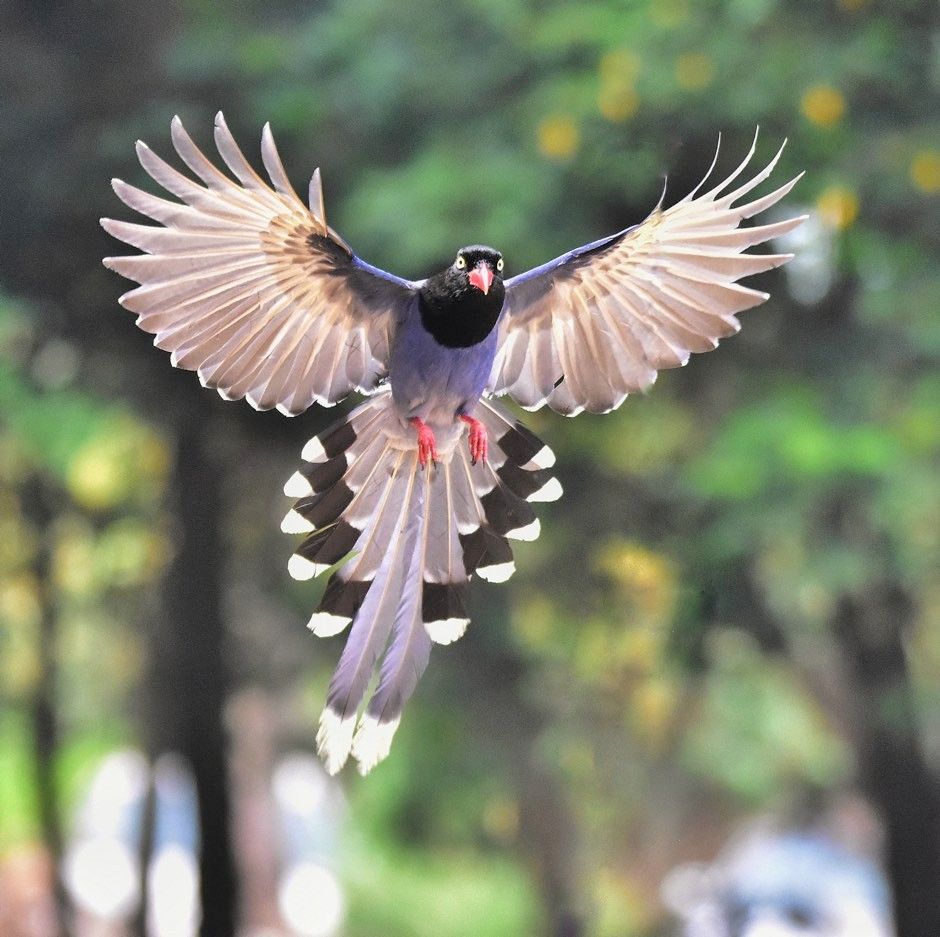 A Taiwan blue magpie in flight © Shao Huan Lang