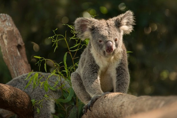 A koala on a branch at Queensland Zoo (Wildlife HQ) © Kate Berry