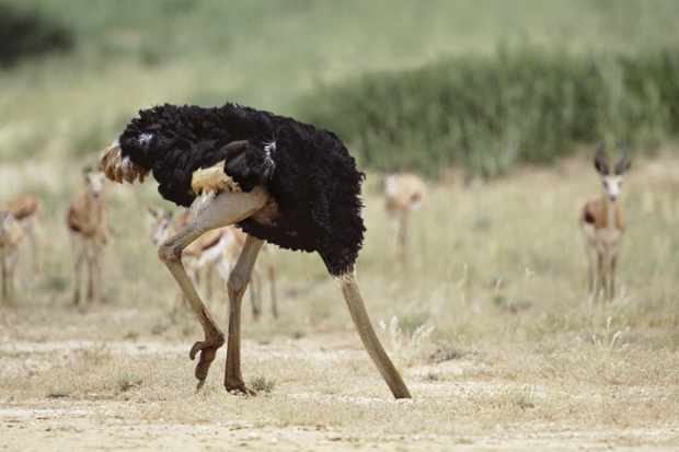 Do ostriches really bury their head in the sand? © Alamy