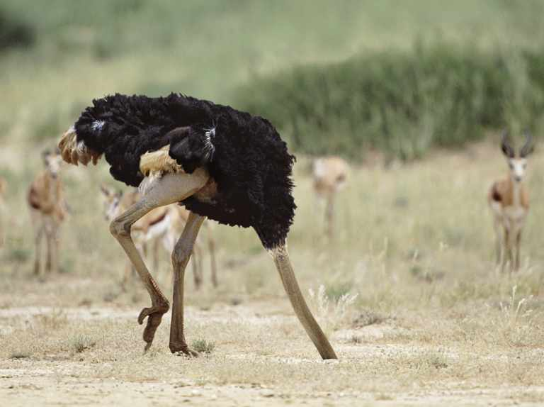 Do ostriches really bury their head in the sand?