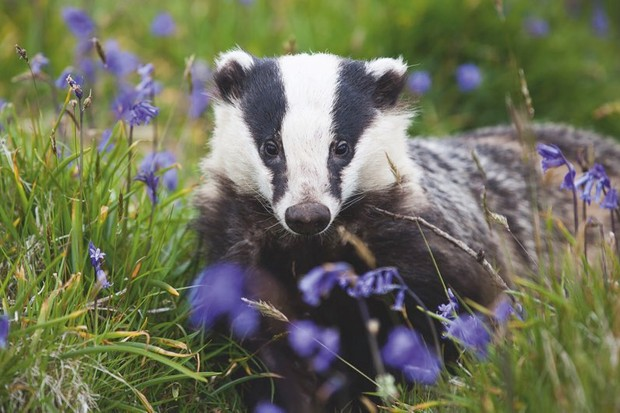 Badger culls: do they stop the spread of tuberculosis? © Seth Jacksonuse