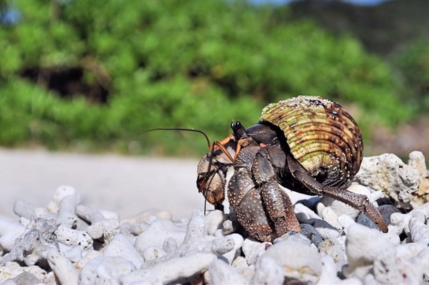 Plastic pollution killing more than 500,000 hermit crabs on remote islands © Getty Images