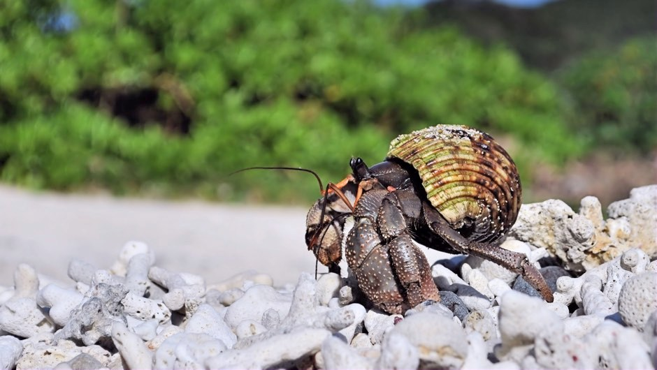 Plastic pollution killing more than 500,000 hermit crabs on remote islands