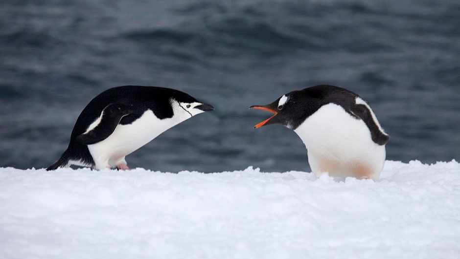 Antarctic penguins' diet affected by climate change and human activity ©Getty Images