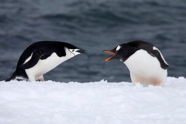 Antarctic penguins' diet affected by climate change and human activity © Getty Images