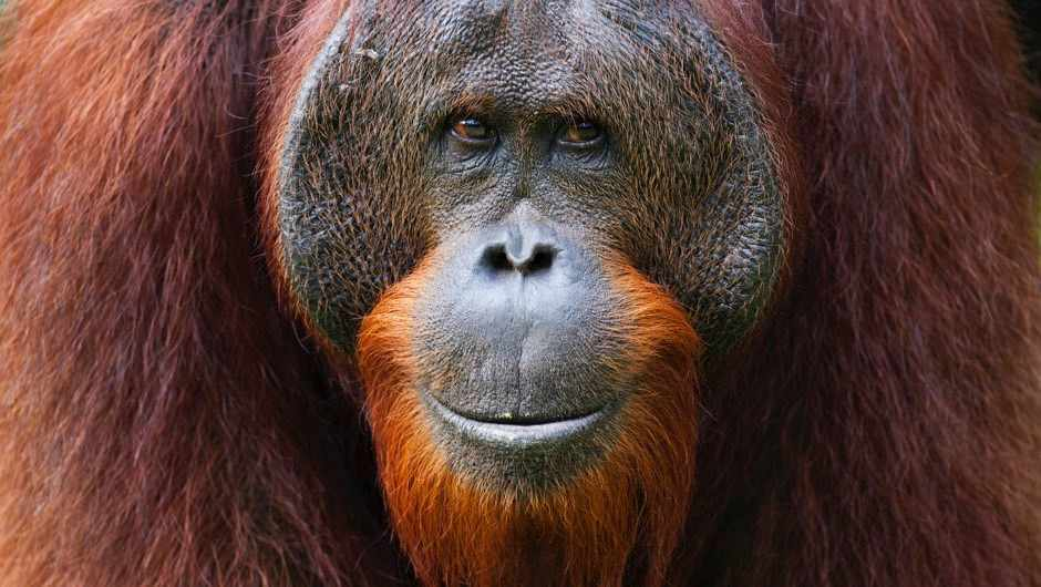 Secrets of orangutan 'language' uncovered © Getty Images