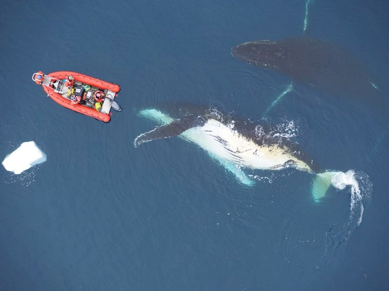 Highly-efficient feeding means whales probably can't grow any bigger than they already do