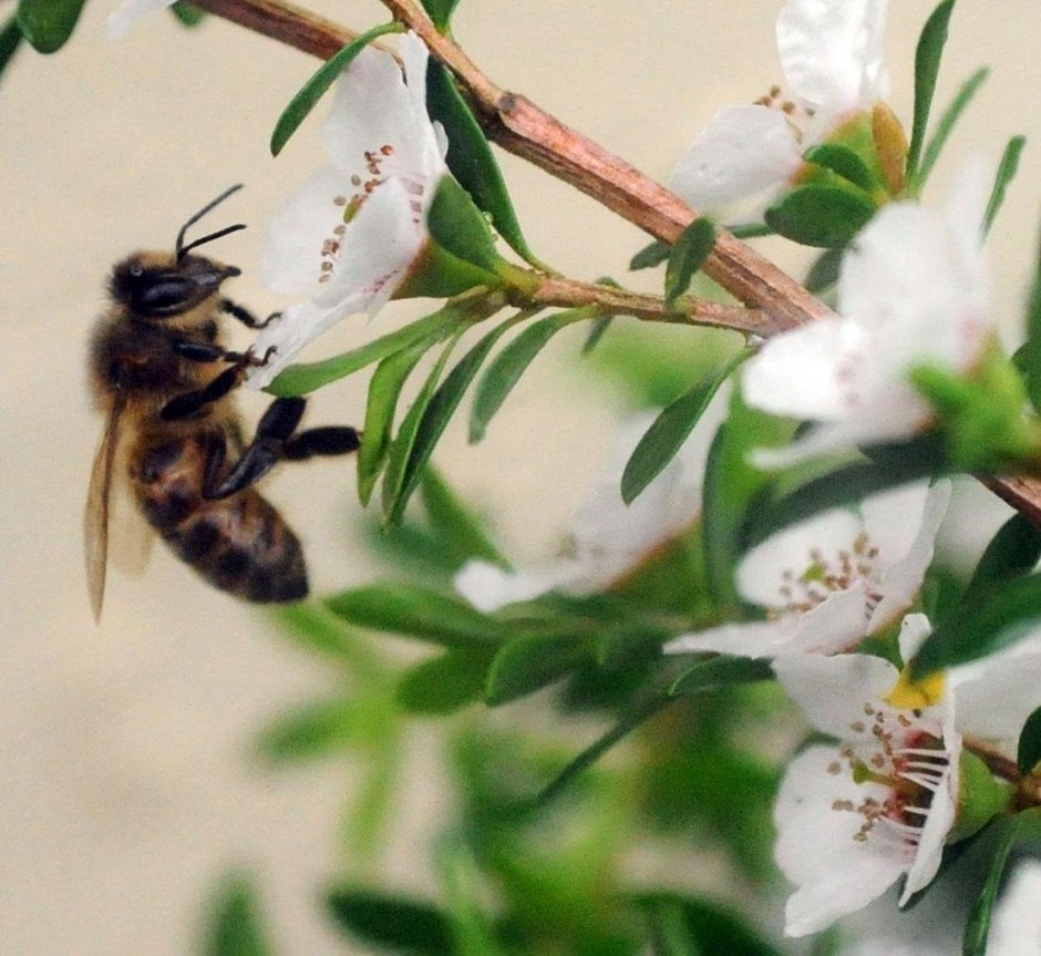 A bee on a Manuka bush (Barry Batchelor/PA)