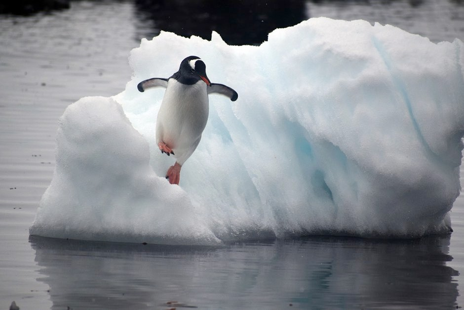 A gentoo penguin leaps off an ice floe © Kelton McMahon, University of Rhode Island/PA