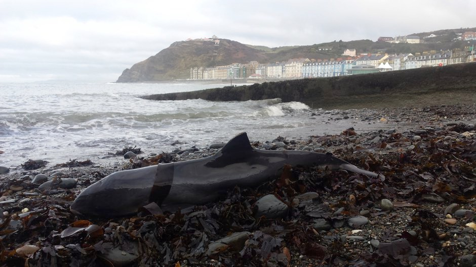 Stranded porpoise in Wales © Kathy James, Seawatch Foundation/PA