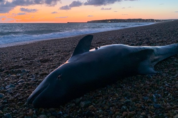 Porpoise calves exposed to chemical pollutants in mothers' milk © Rob Deaville CSIP-ZSL/PA