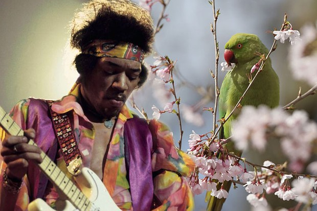London parakeet 'crime map' rules out Jimi Hendrix release myth © Getty Images