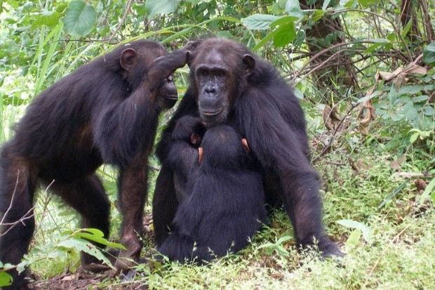 Female chimps more likely to stay at home if they have a powerful mum © Emily Wroblewski