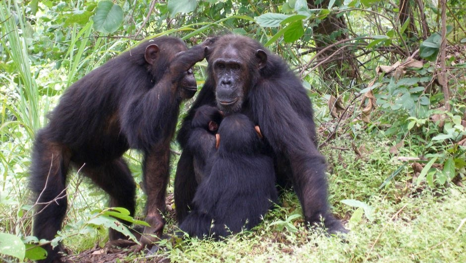 Female chimps more likely to stay at home if they have a powerful mum