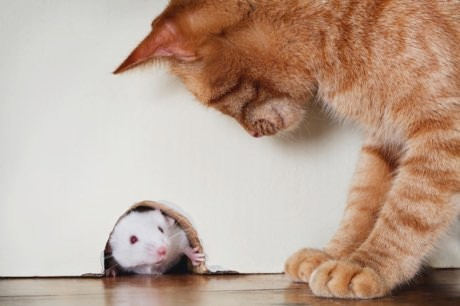 Cat parasite reduces general anxiety in infected mice, not just fear of feline predators